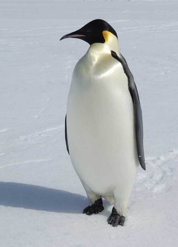 Fat Adult Penguin 57.25 Kb