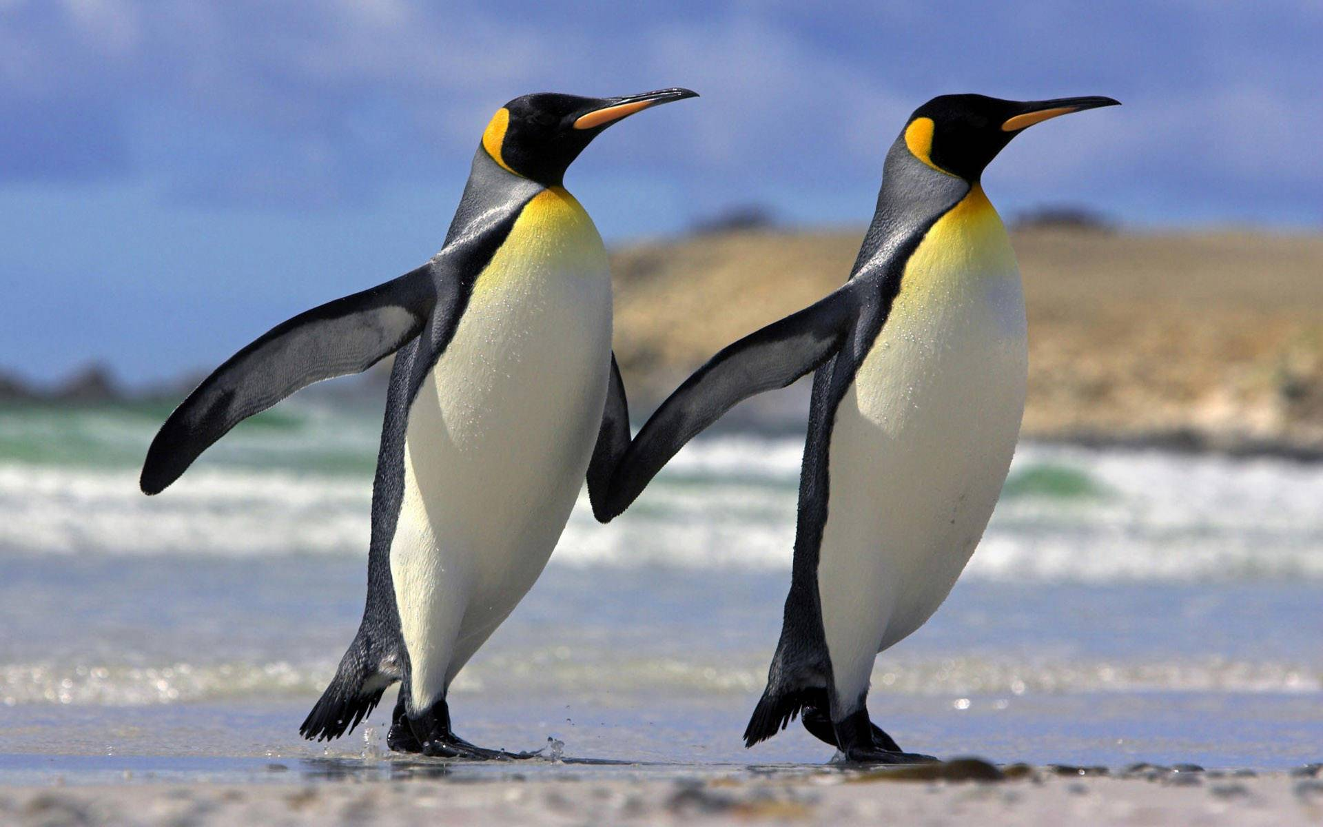 Penguin Duo Walk