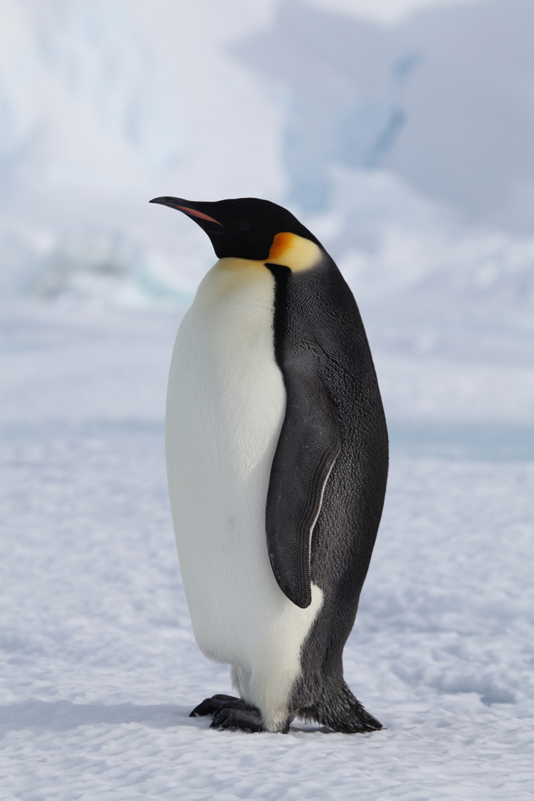 Single Penguin on a Clearing
