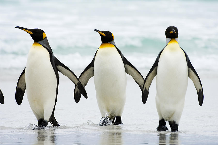 Penguin Trio Walking out of the Water 163.59 Kb