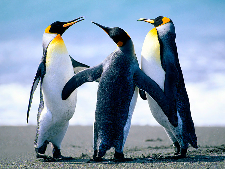 Penguin Trio Dance 57.25 Kb