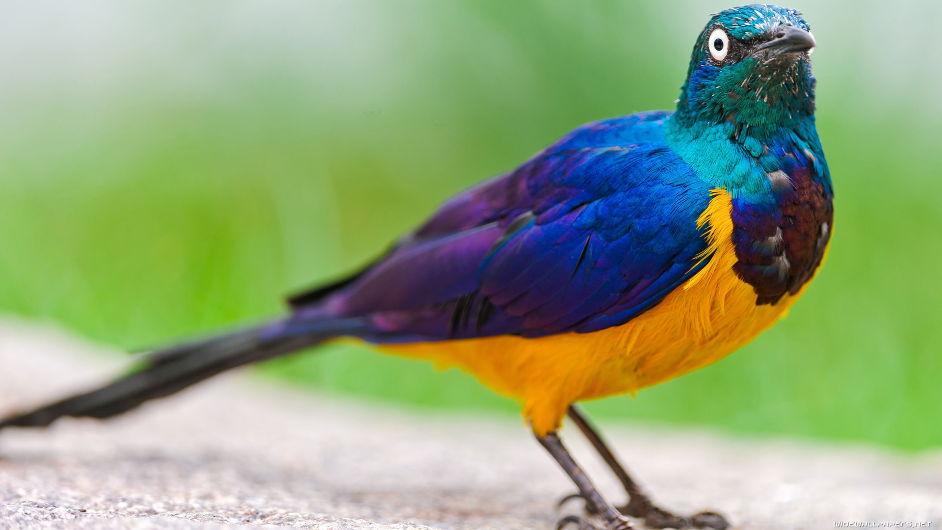 Blue and Yellow Bird with Strange Eyes
