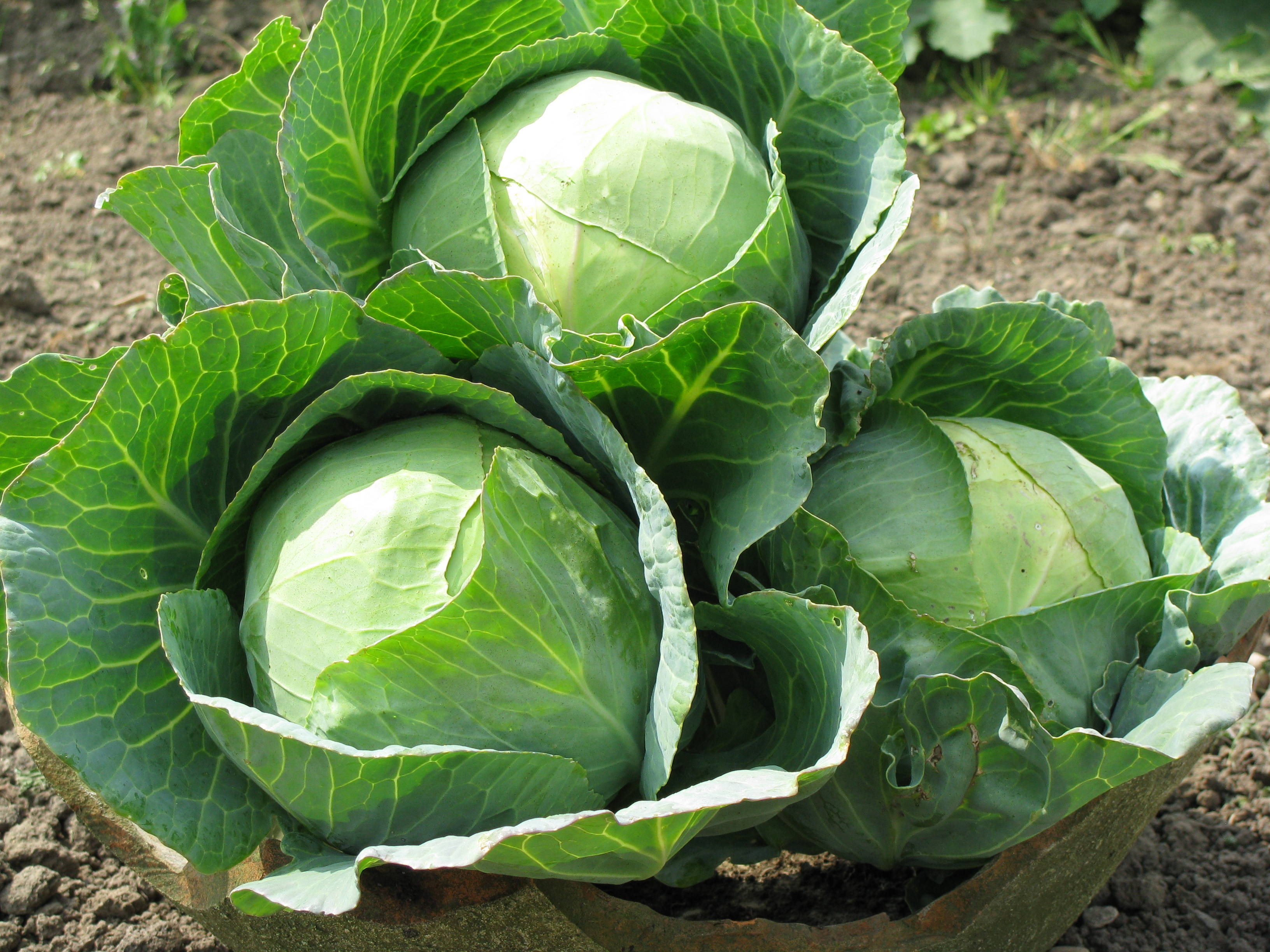 Trio Cabbage Heads in the Kitchen Garden