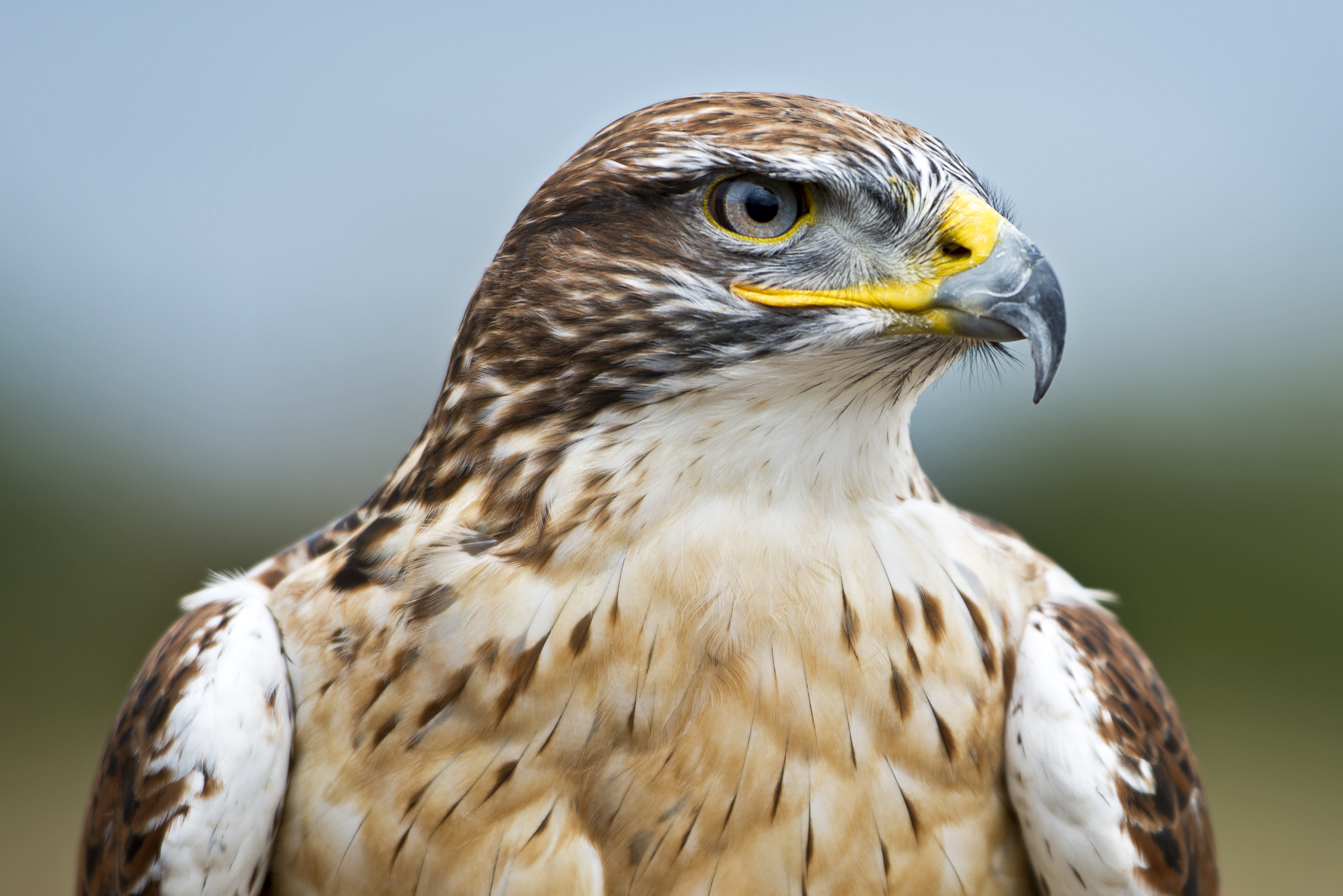 Adult Hawk Head