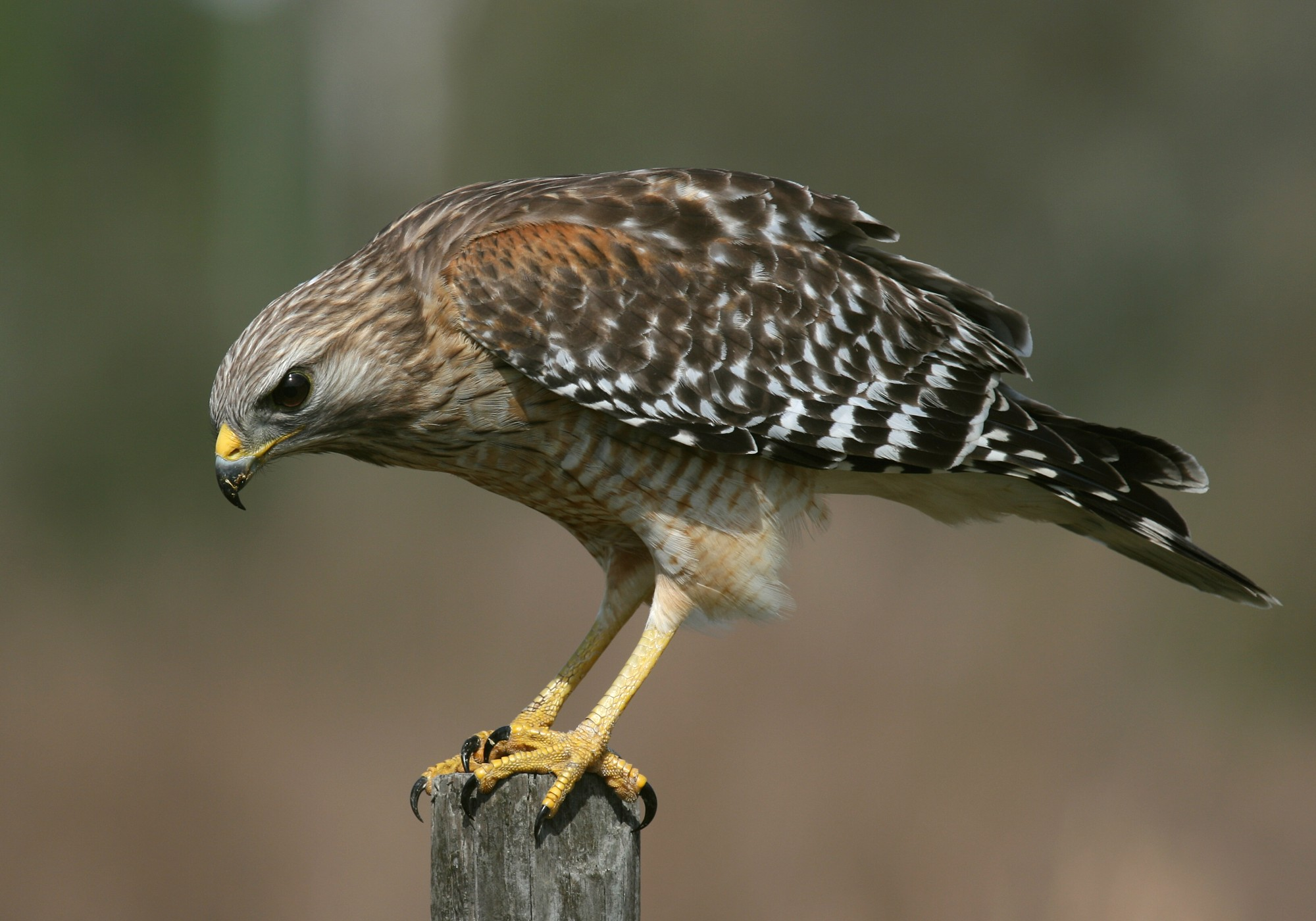 Hawk Family Accipitridae 54.01 Kb