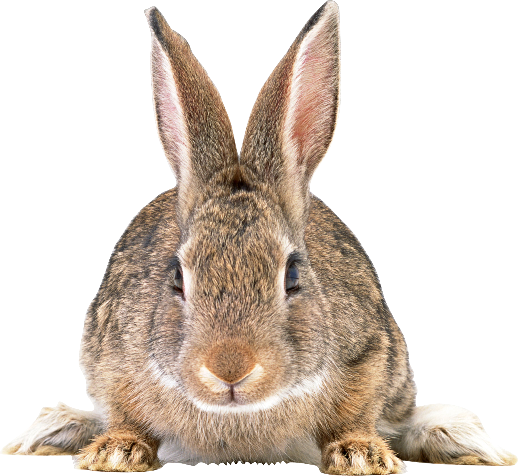 Grey Adult Rabbit