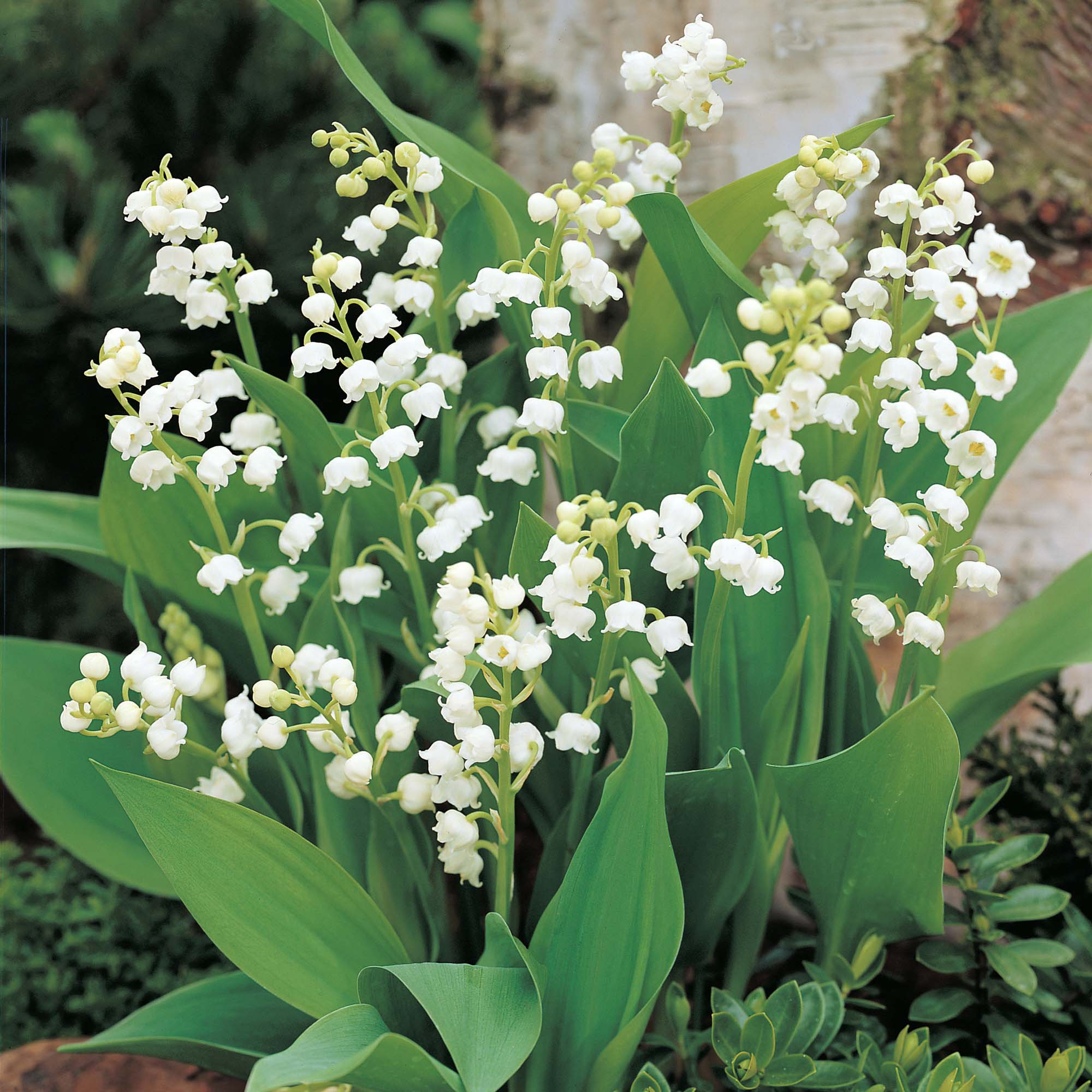 Lily Of The Valley in Spring 636.7 Kb