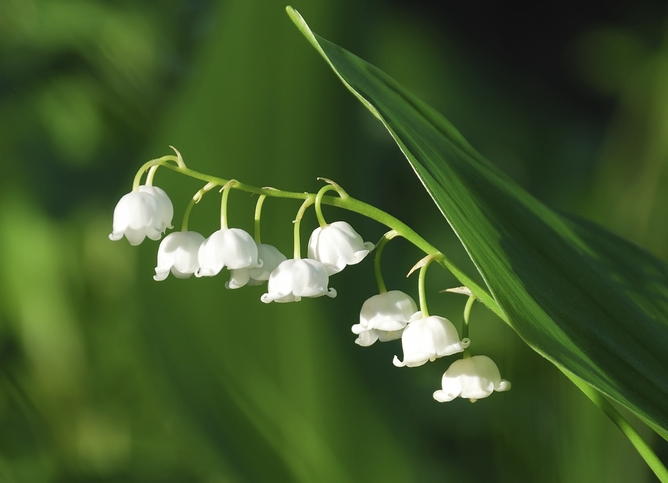 Lily Of The Valley Branch  636.7 Kb