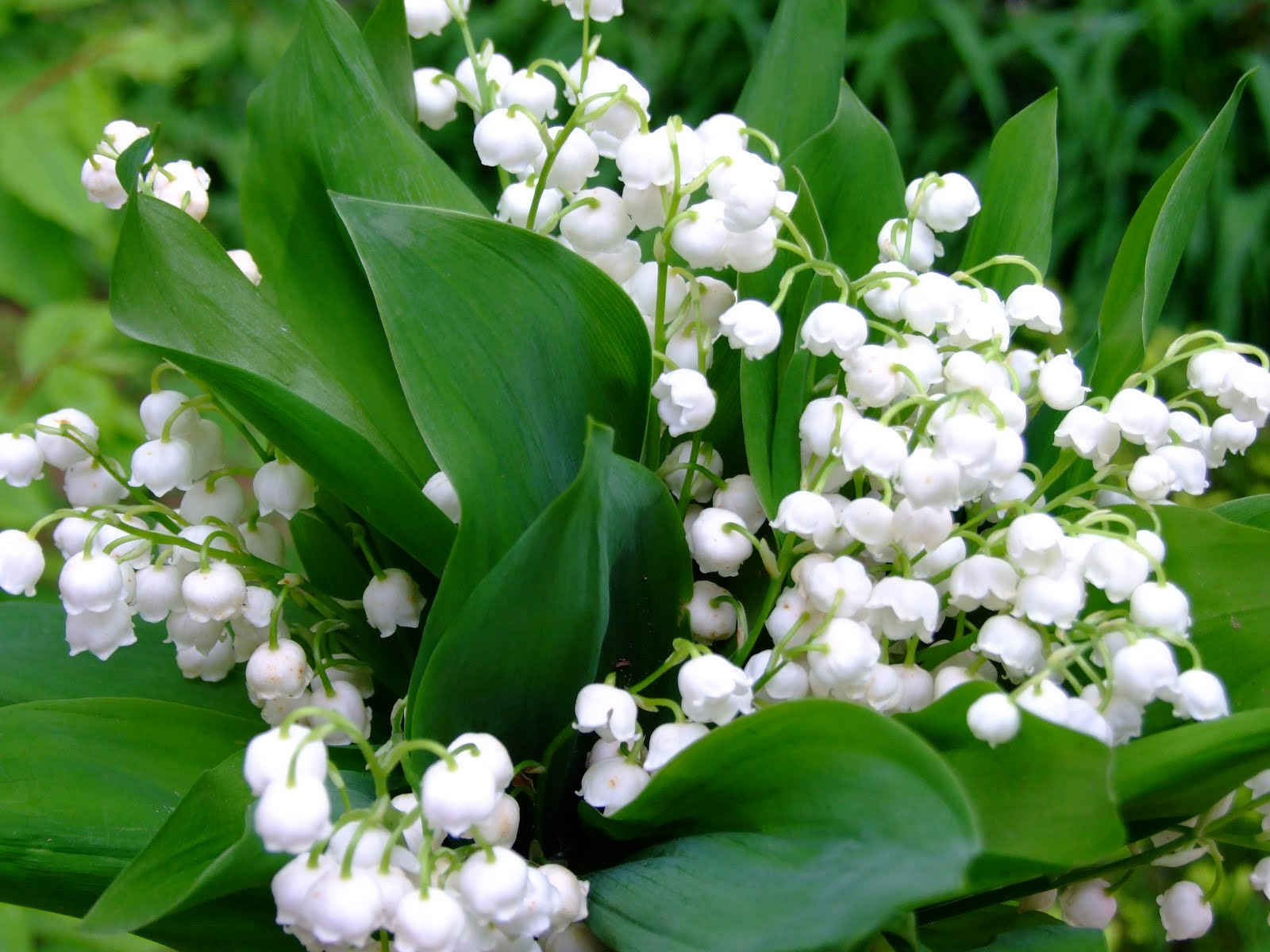 Lily Of The Valley Bouquet 636.7 Kb
