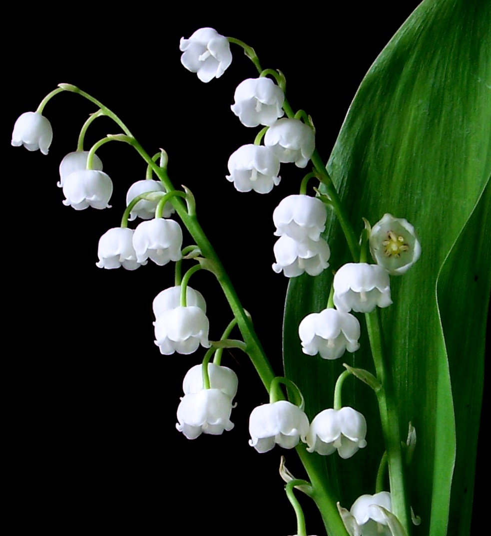 Lily Of The Valley Picture 636.7 Kb