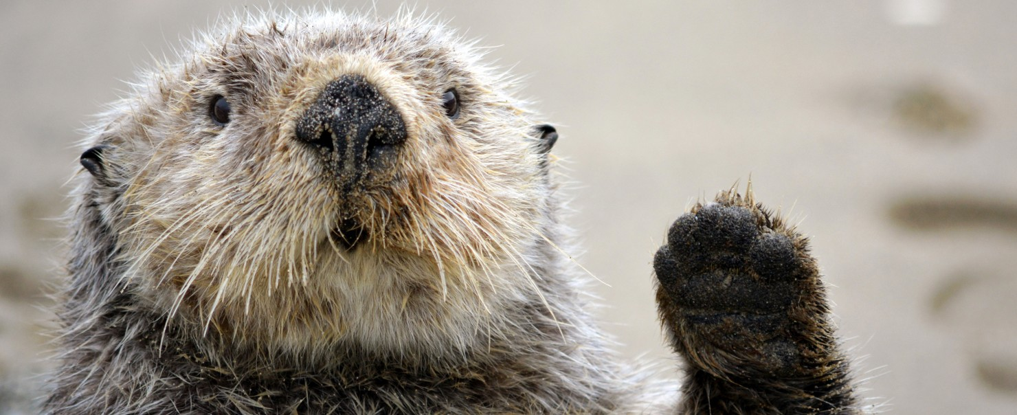 Otter Giving High Five