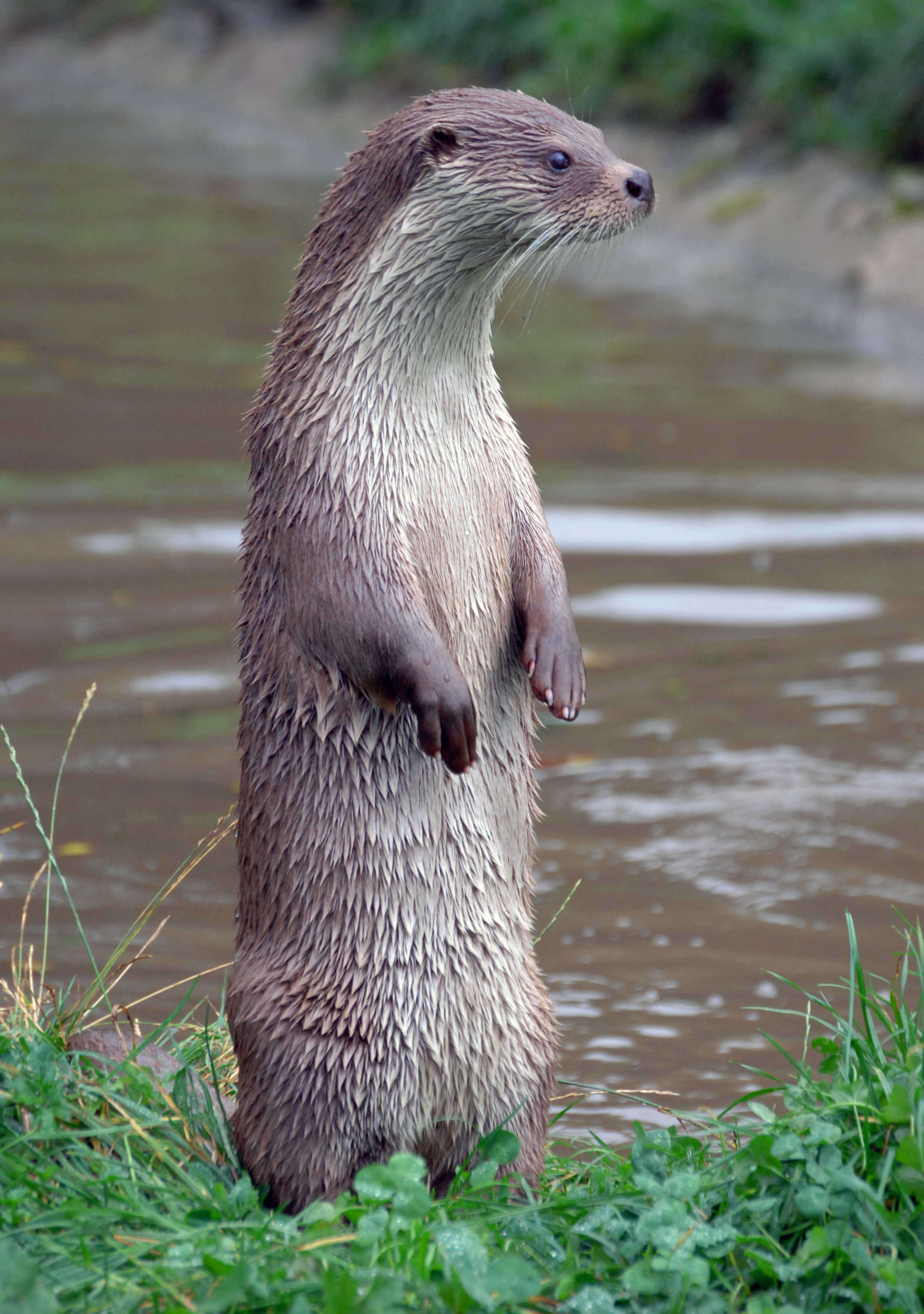 Otter Looking Carefully for Something