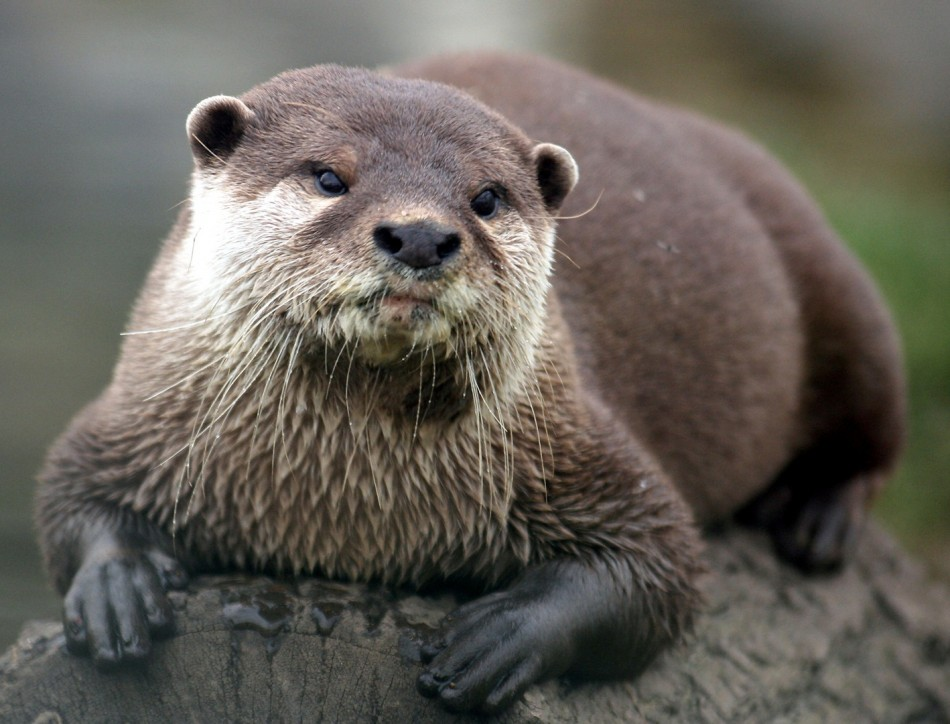 Otter Resting on a Log