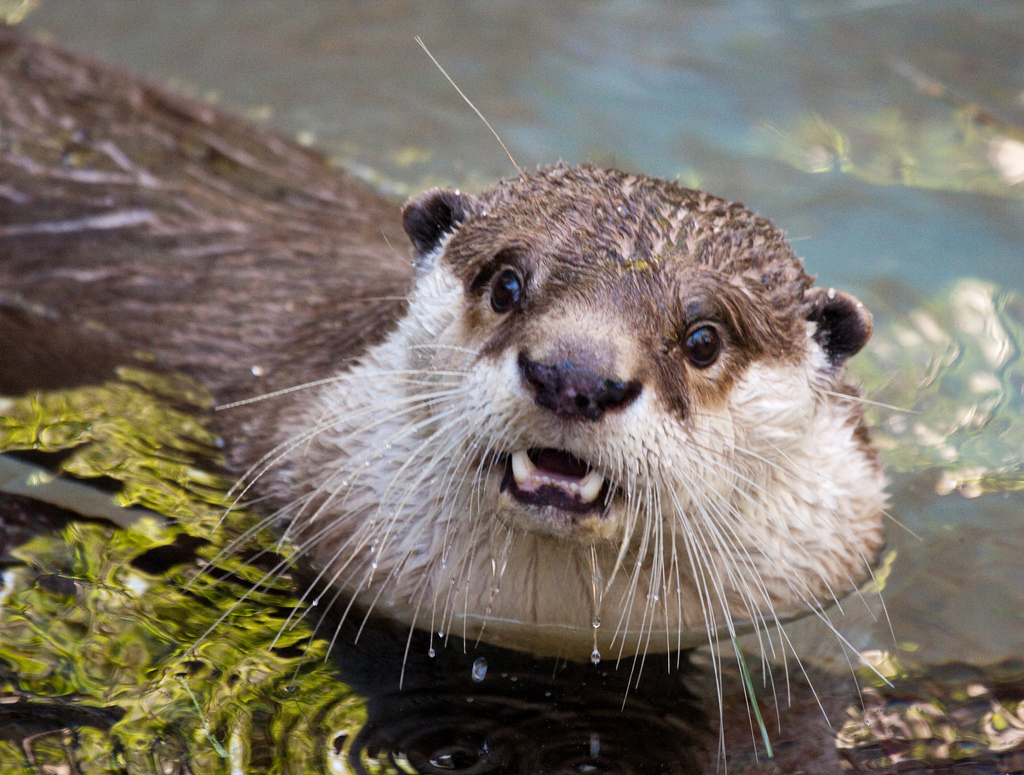 Otter Surprised Grin