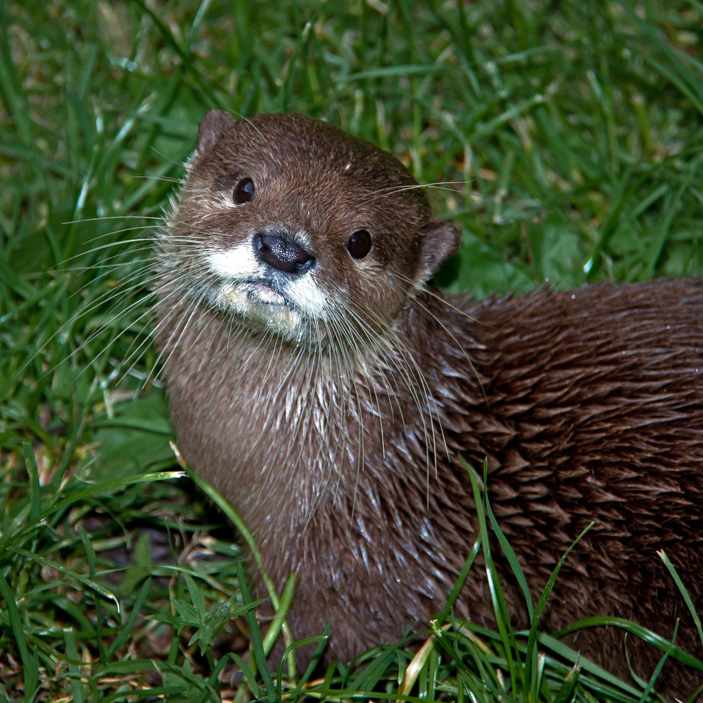 Wet Otter in the Grass