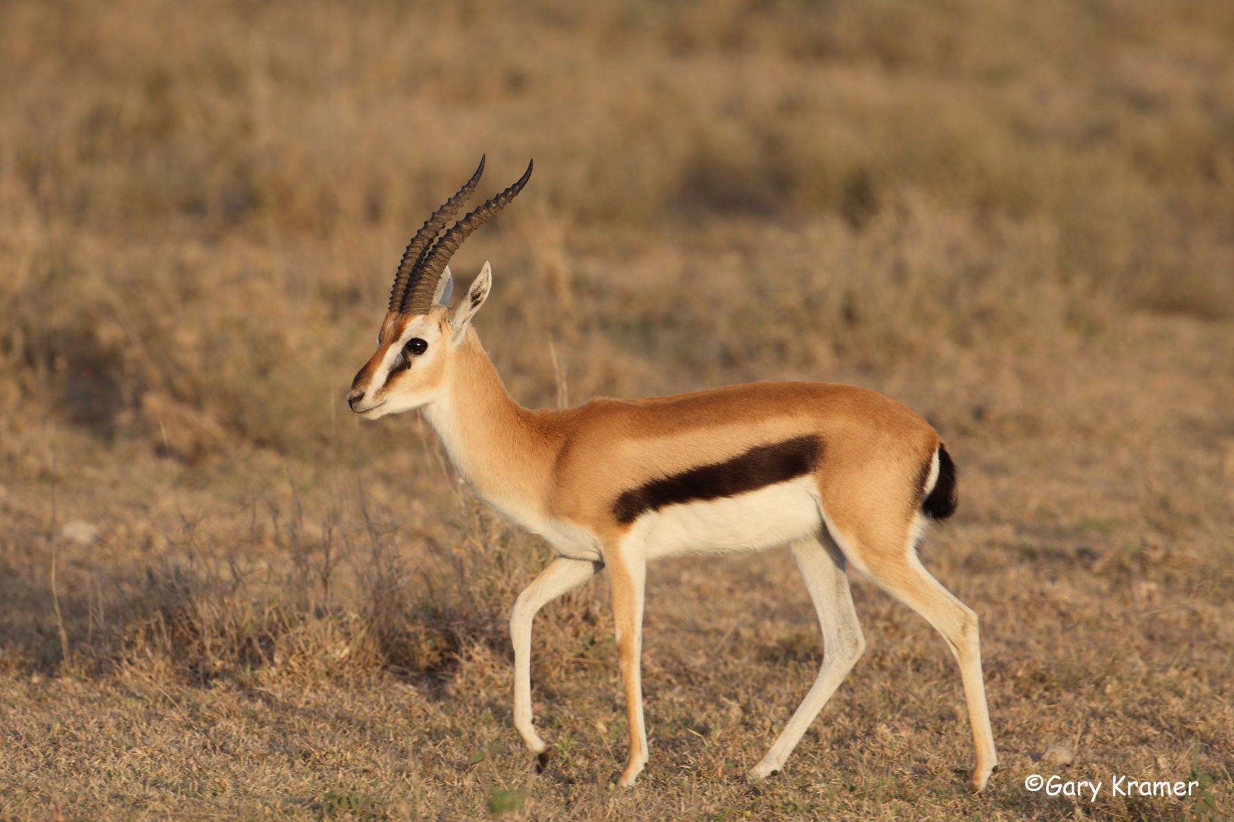 Young Gazelle in the Wild 1225.31 Kb