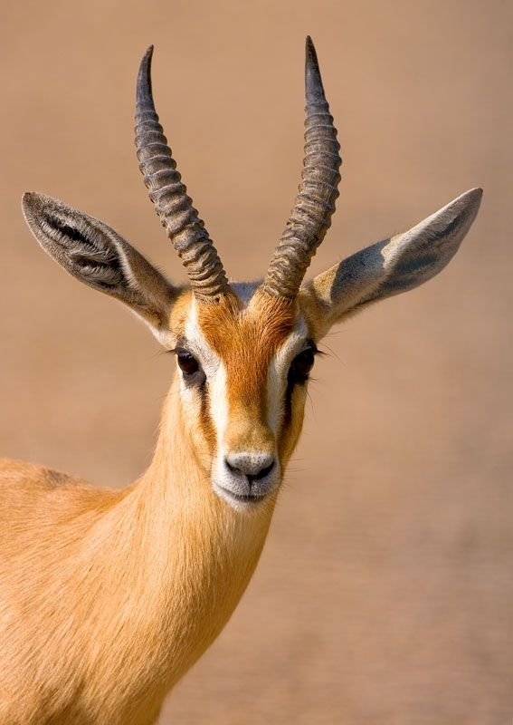 Gazelle Snout Photoshoot 1225.31 Kb