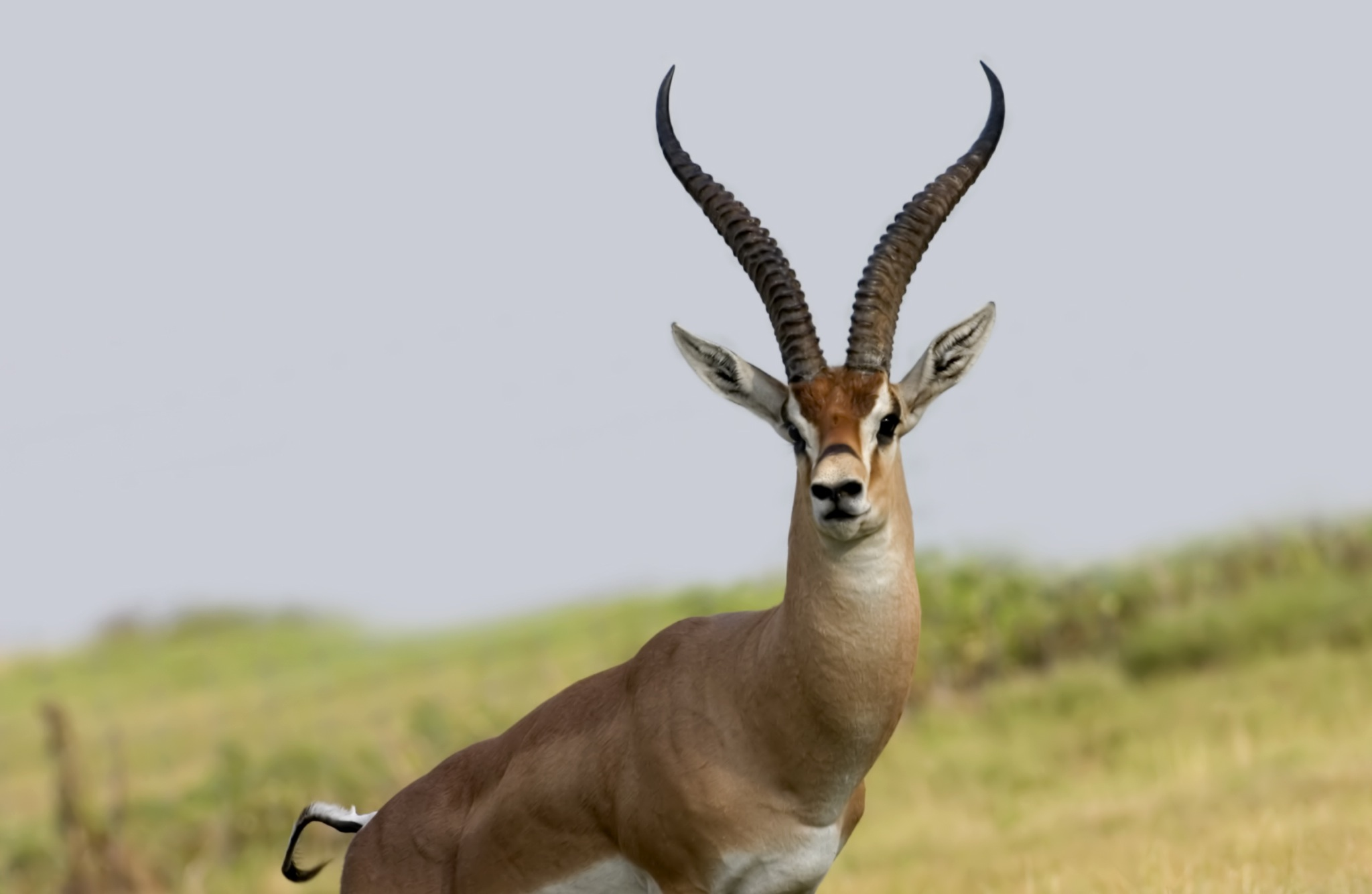 Gazelle with Long Horns 1225.31 Kb
