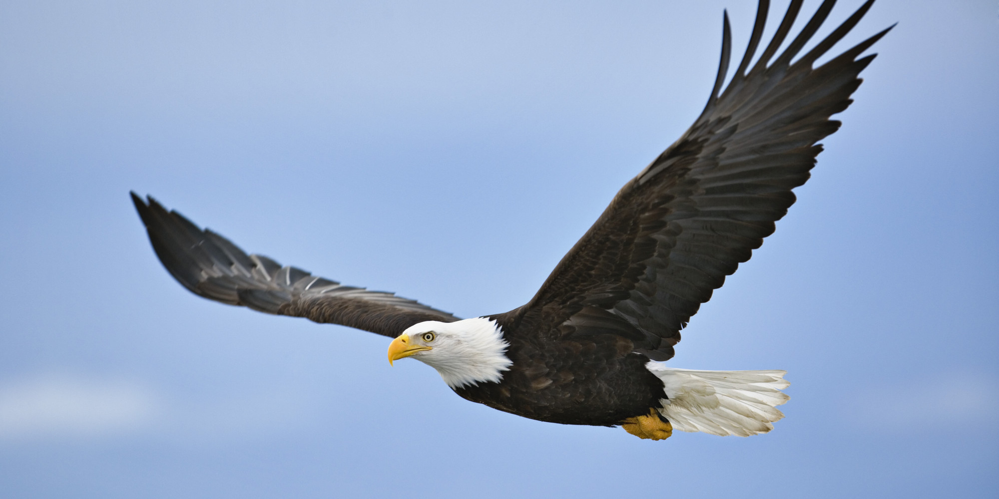 Adult Eagle Flying in the Sky 148.92 Kb