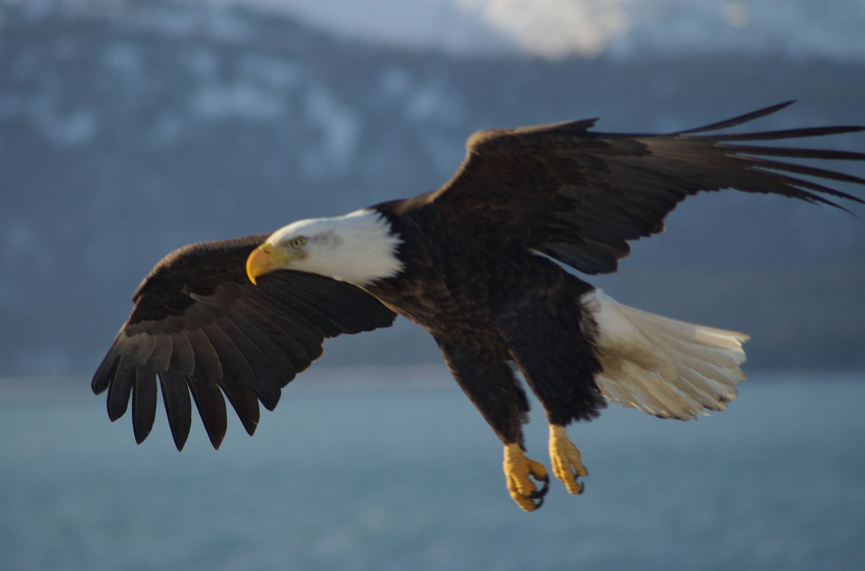 Eagle Large Bird of Prey 795.83 Kb