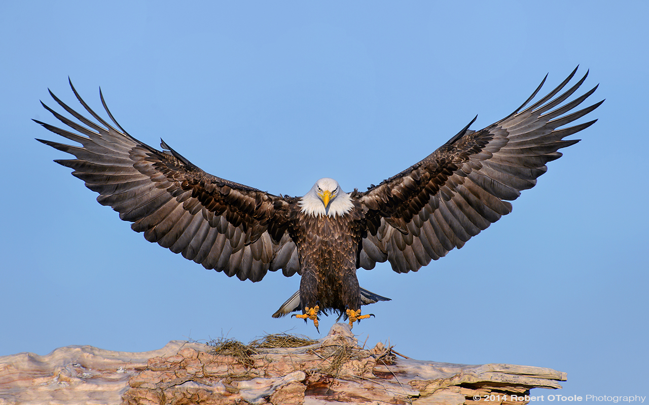 Eagle Landing on a Rock
