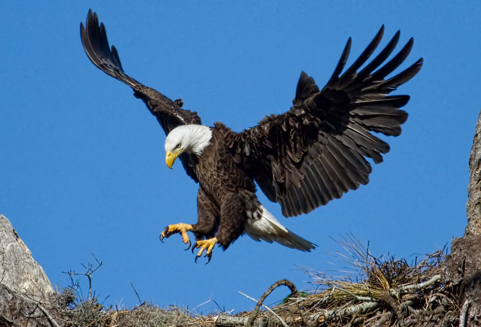 Eagle Landing in a Nest 795.83 Kb