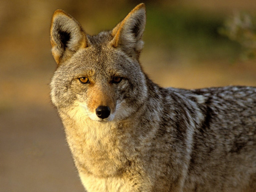 Coyote Canid Animal
