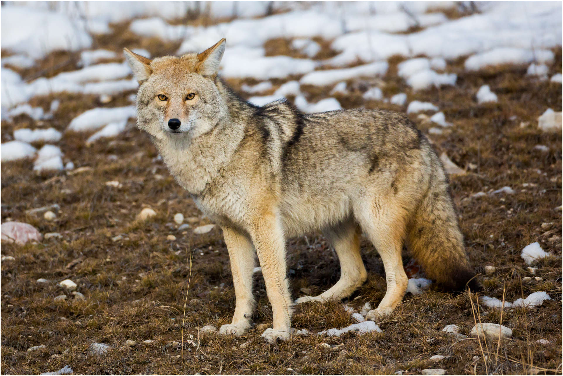 Wild Coyote in Winter 256.88 Kb