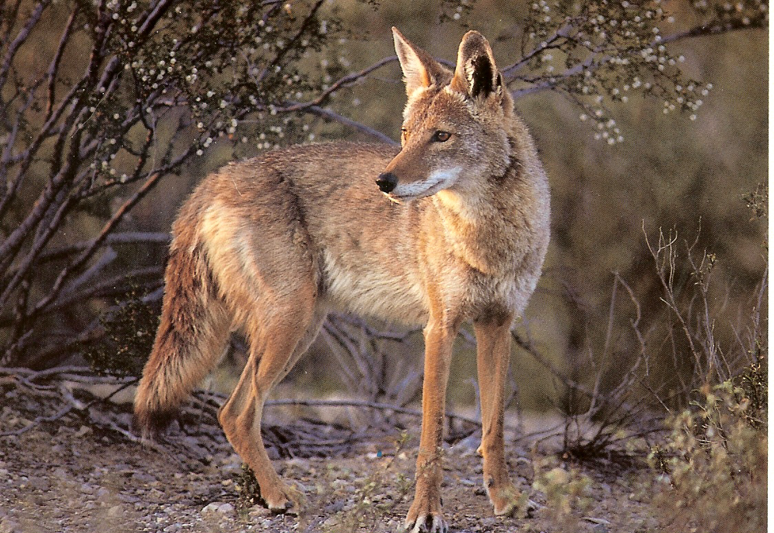 Coyote Predator Animal 2383.88 Kb