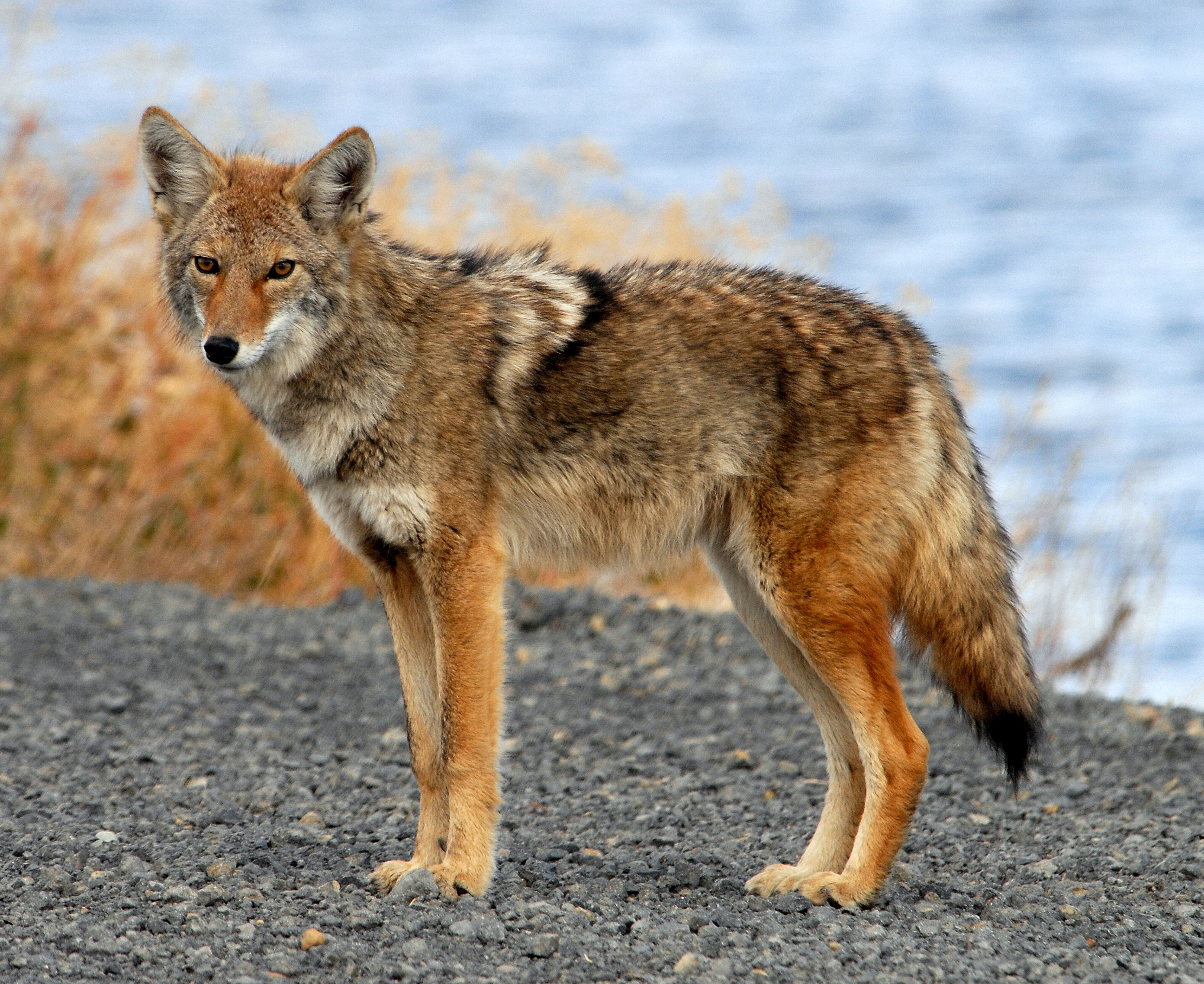 Coyote on a Bank of the River