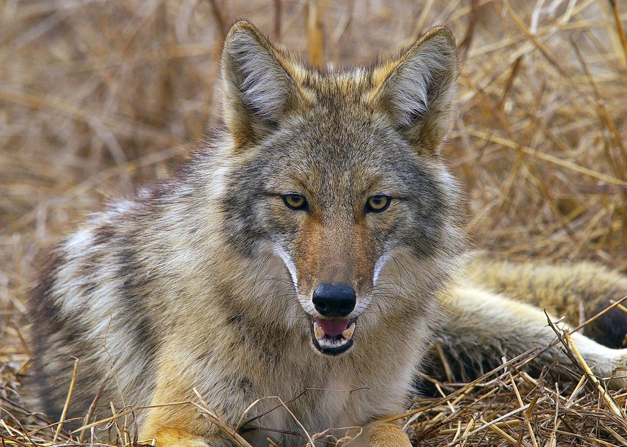 Coyote Face Image