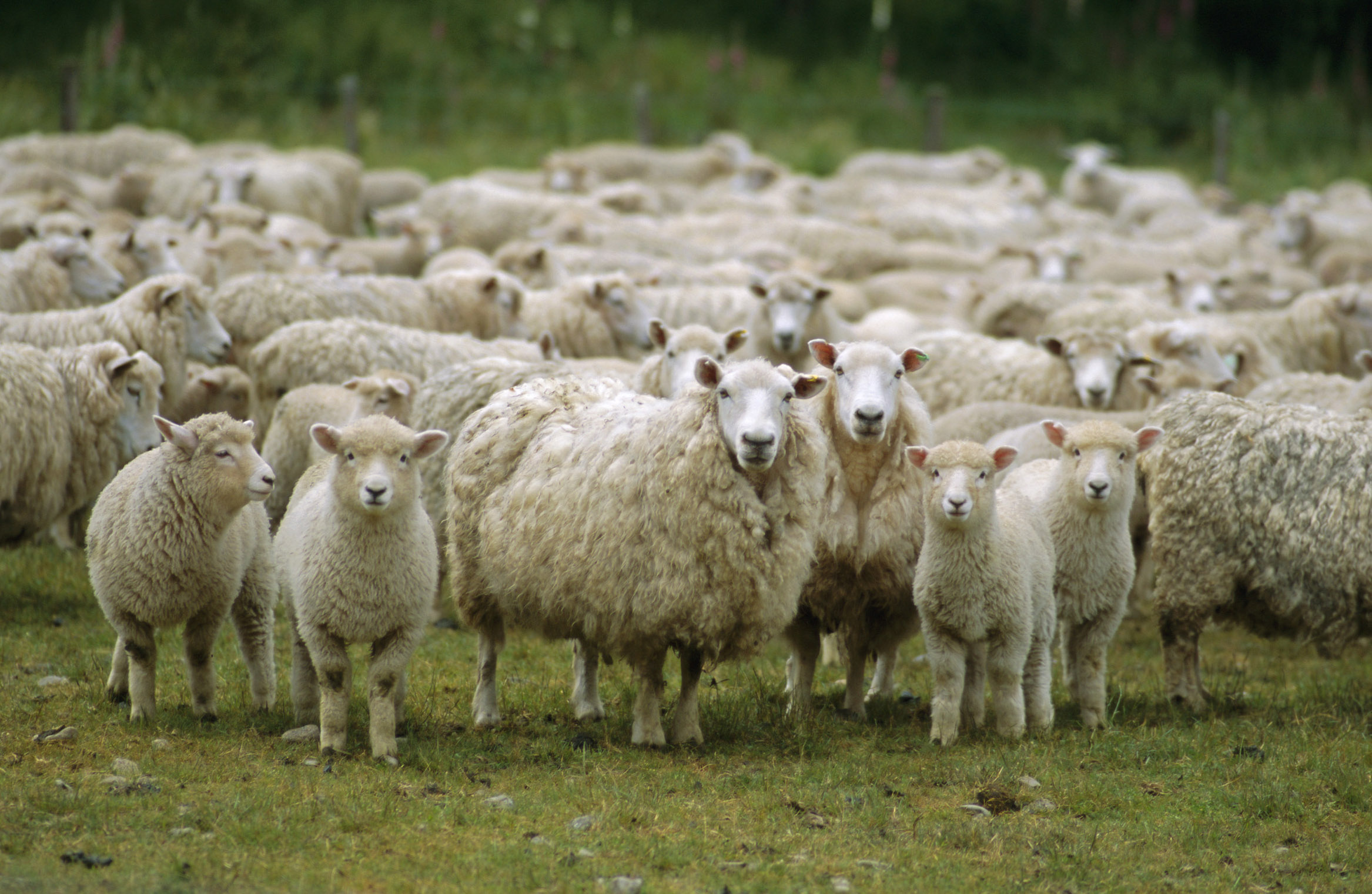 Sheep Herd at Pasture