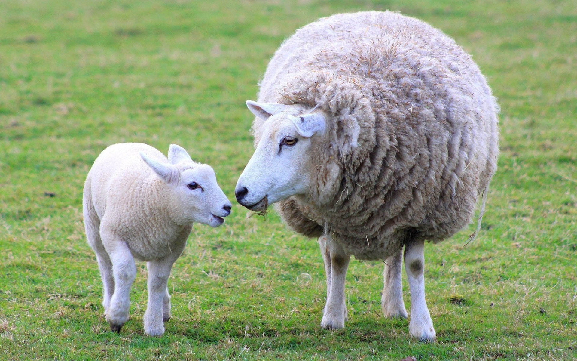 Sheep with a Baby Cub