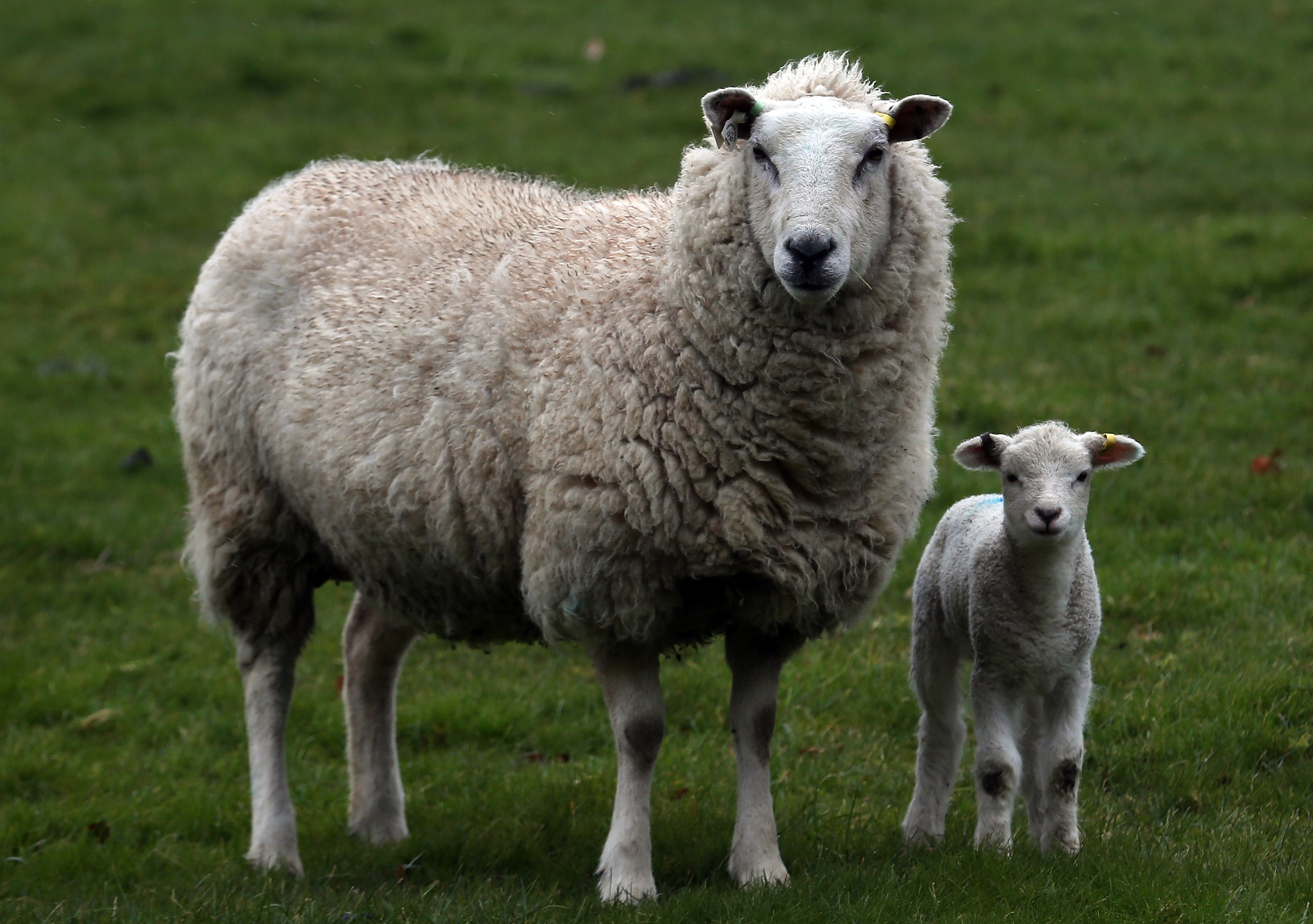 Baby Sheep and its Mother at Pasture