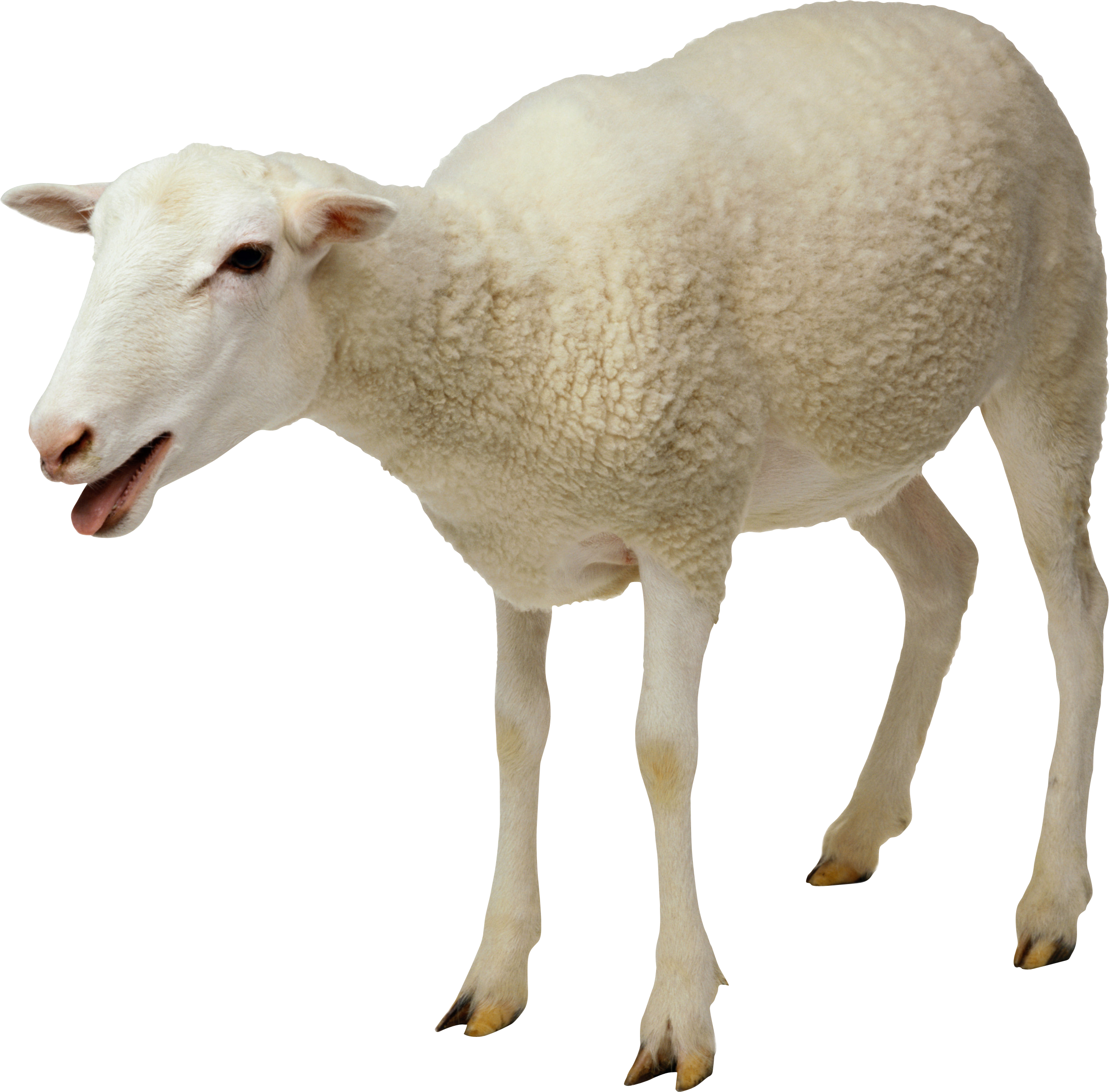 Simple Sheep Image