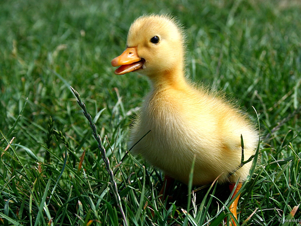 Small Duck in the Grass