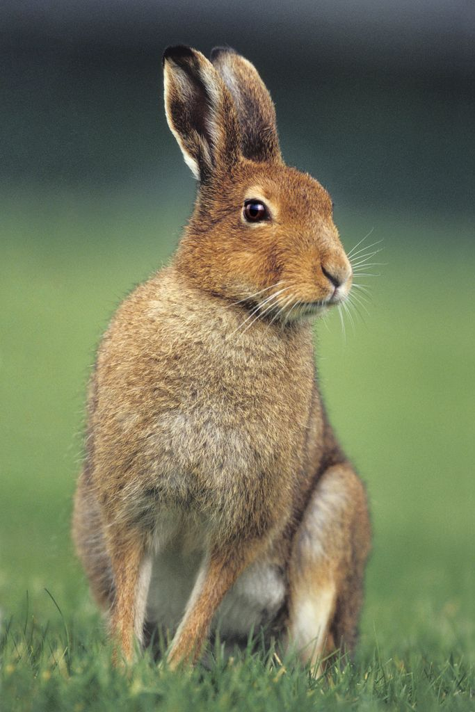 Hare Animal Wallpaper 125.17 Kb