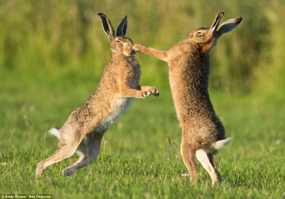 Hare Fierce Fight