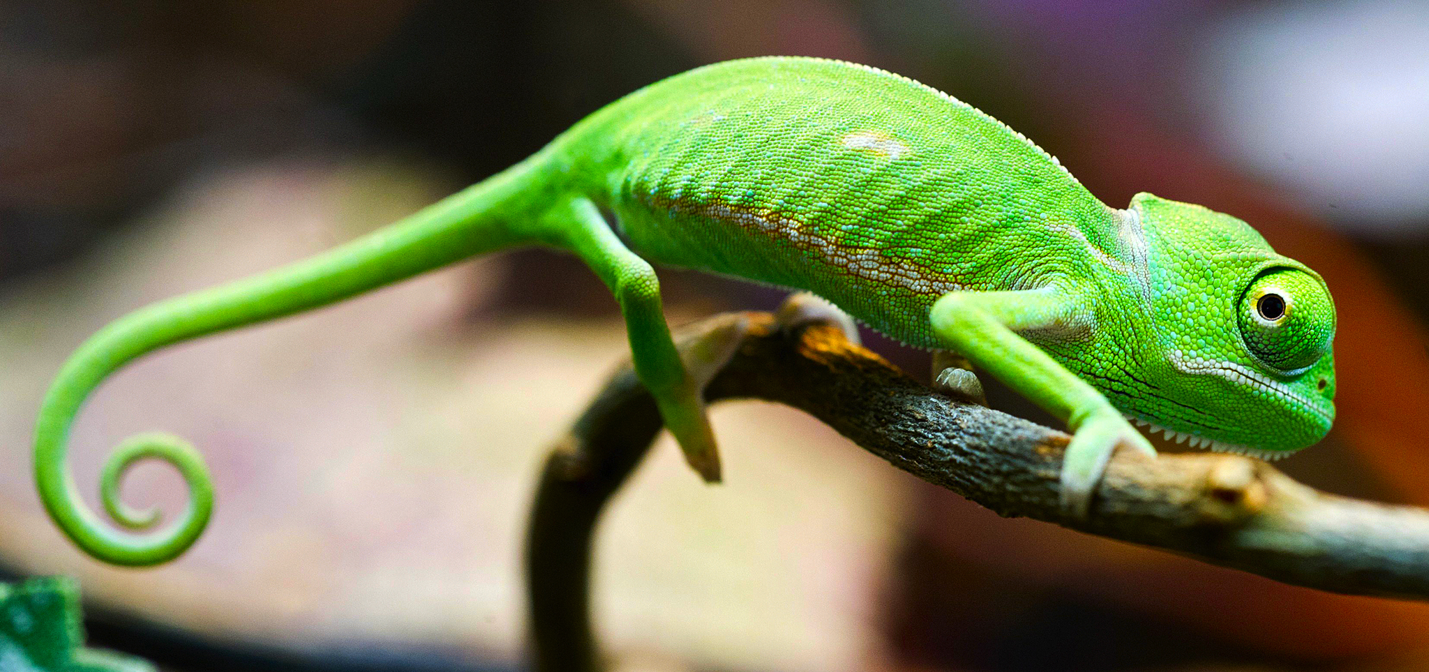 Green Chameleon on a Branch