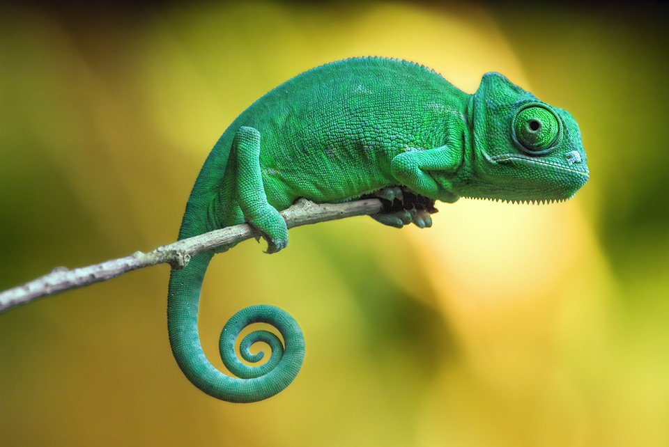 Small Chameleon on a Stick