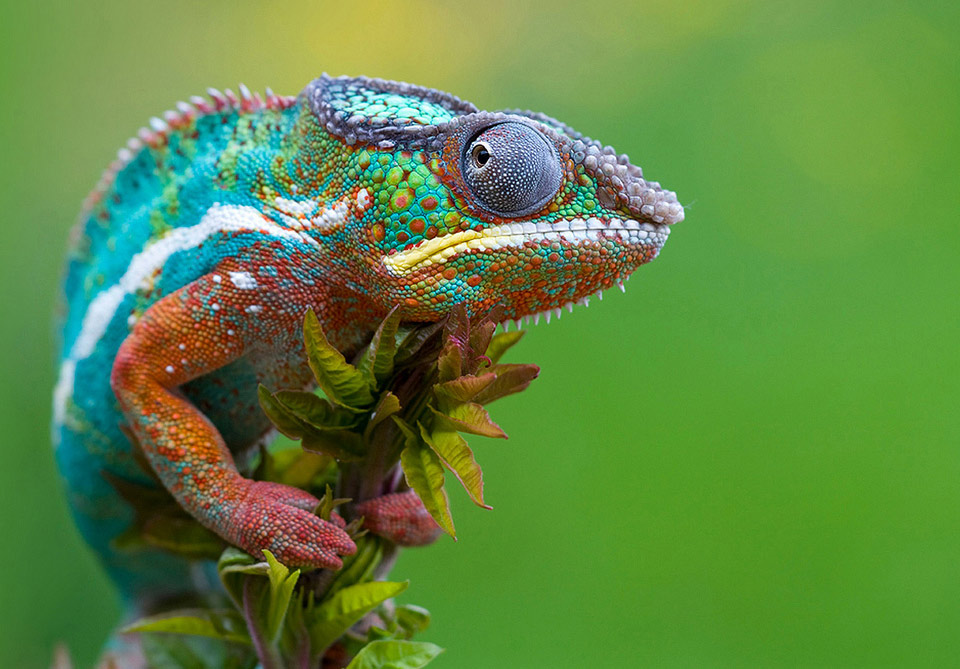 Adult Chameleon on a Flower