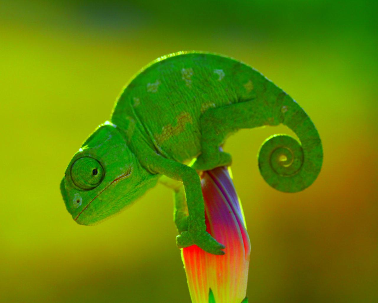 Small Chameleon on a Flower 289.9 Kb