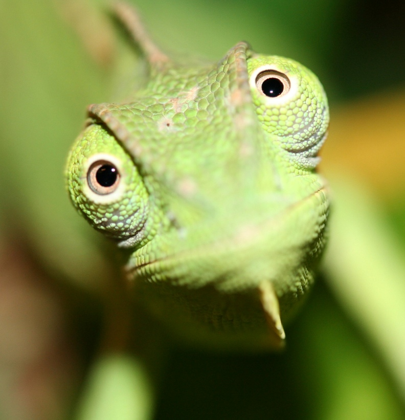 Chameleon Close Look 289.9 Kb
