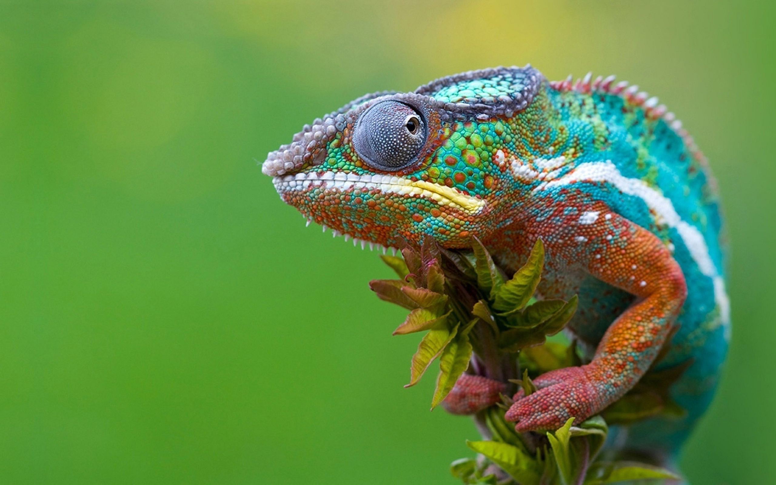 Chameleon Sitting Quiet 159.42 Kb