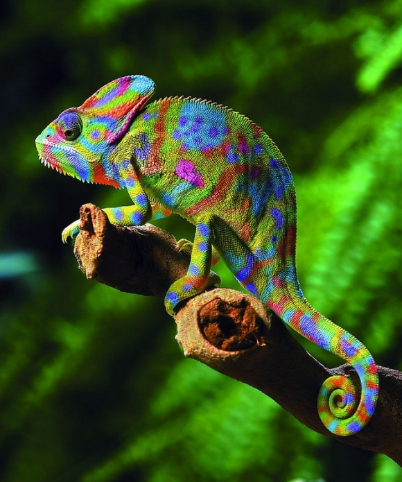 Spotted Colorful Chameleon