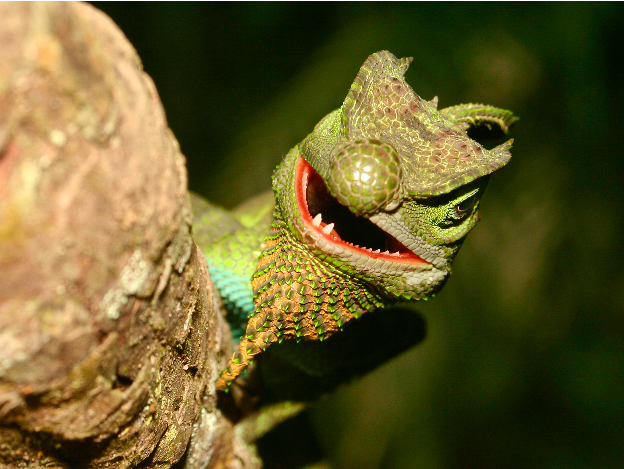 Horny Lizard with Open Mouth 783.34 Kb