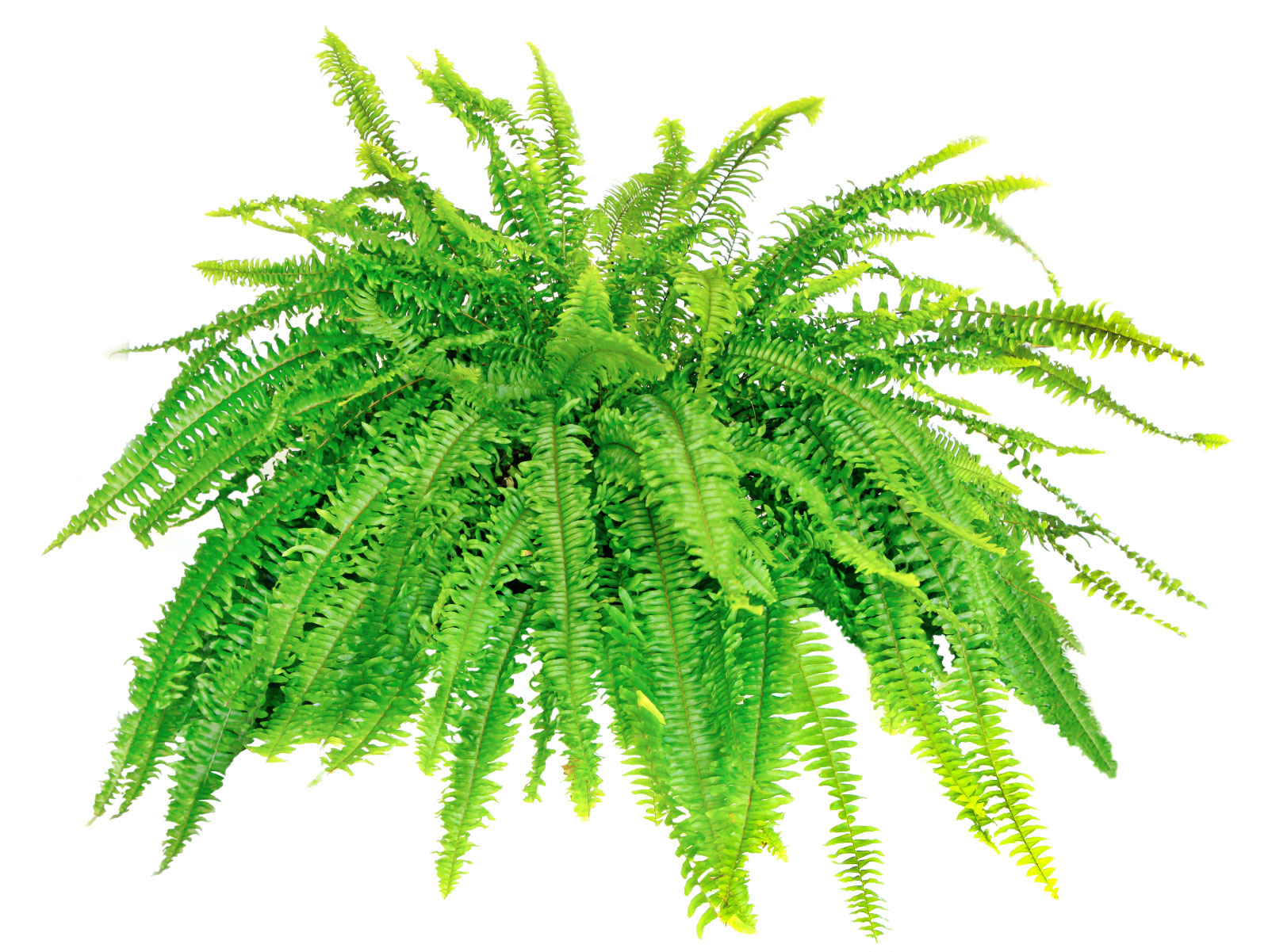 Fern Growing in a Pot 517.98 Kb