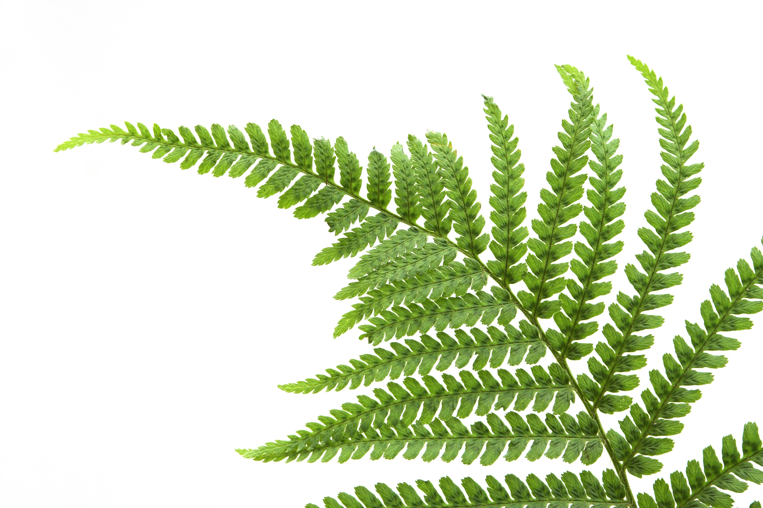 Fern Leaf Wallpaper 517.98 Kb