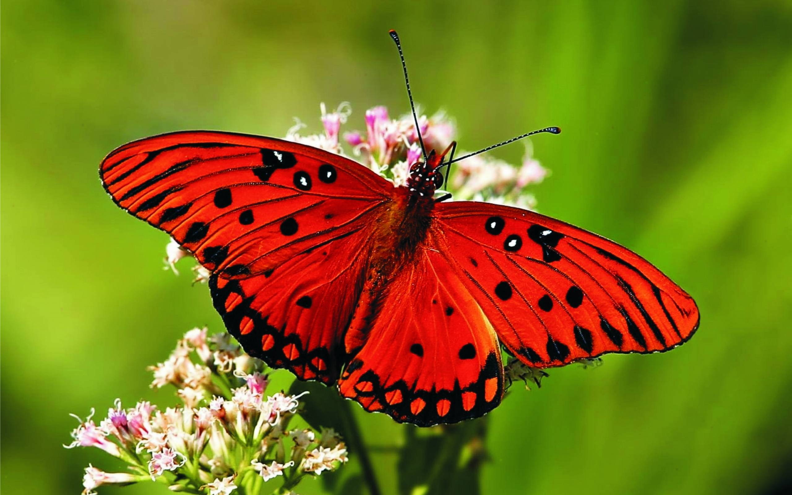 Red Butterfly on a Flower 350.91 Kb