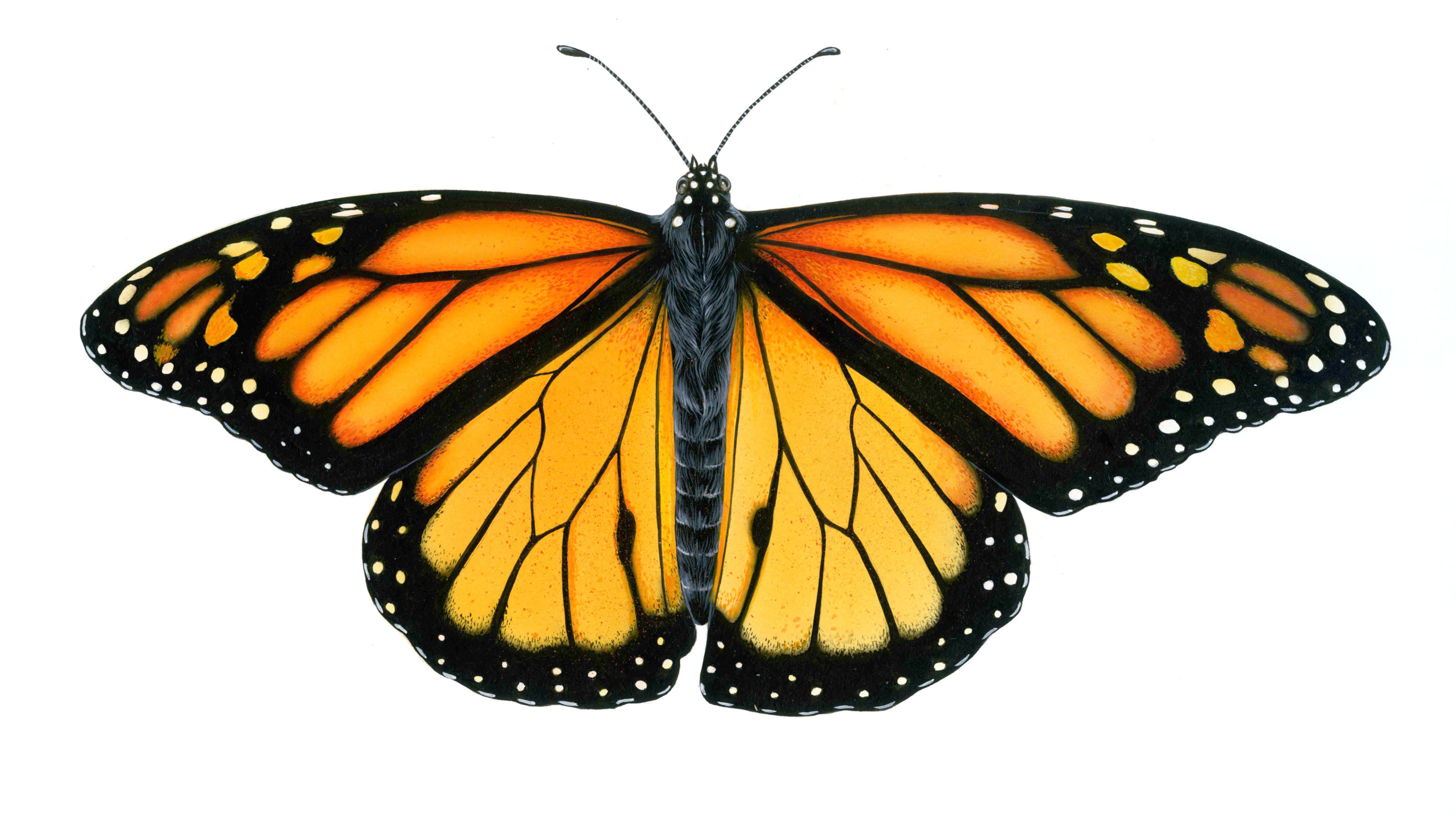 Beautiful Butterfly Picture 350.91 Kb